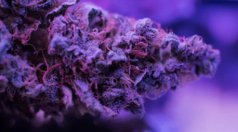 purple haze cannabis strain review