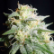 white widow marijuana strain flower